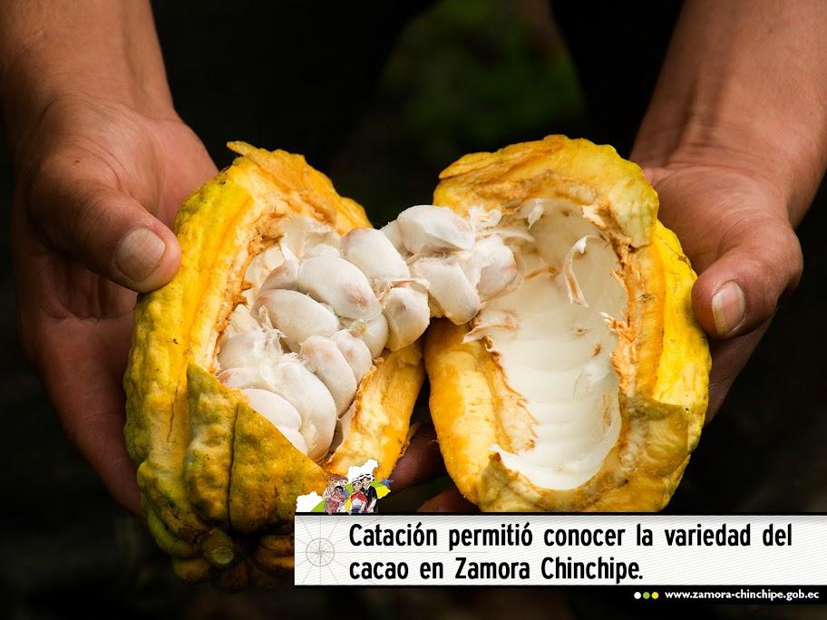 CATACIÓN PERMITIÓ CONOCER LA VARIEDAD DEL CACAO EN ZAMORA CHINCHIPE