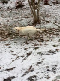 A white Labrador Retriever running in snow