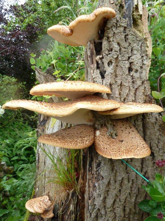 Bracket Fungus by Lorraine H