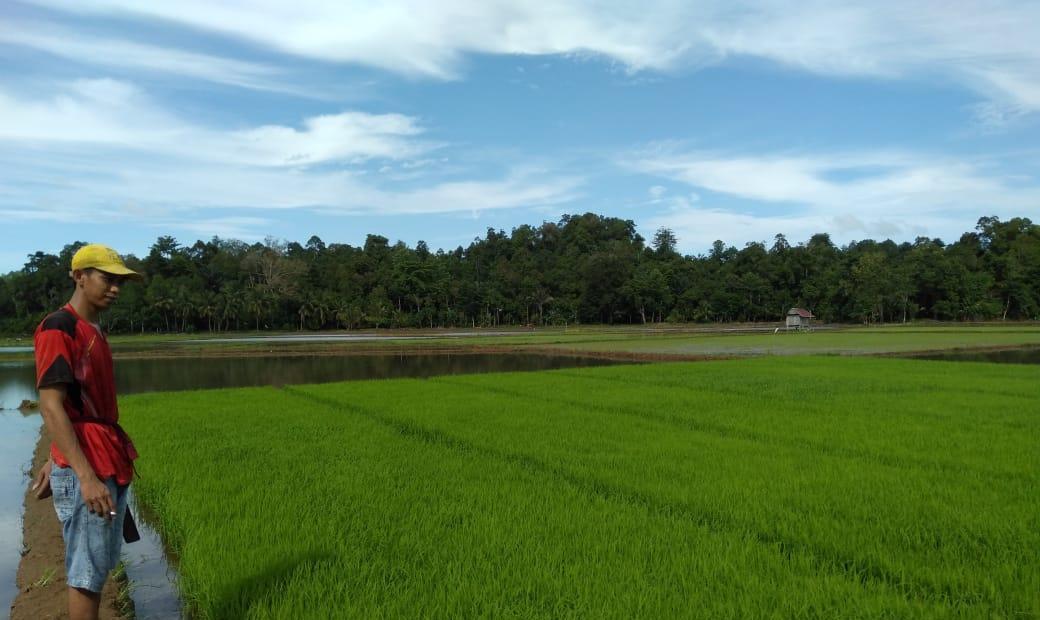 Poktan Rirennuang Desa Tanrongi Siwa Buat Demplot Uji Coba Pupuk Super Tani, Ini Kata Penyuluh