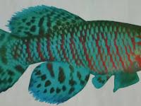 Jenis Ikan Hias Killingfish  si Kecil sang Petarung Sejati