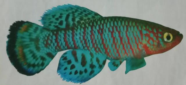 ikan hias killingfish