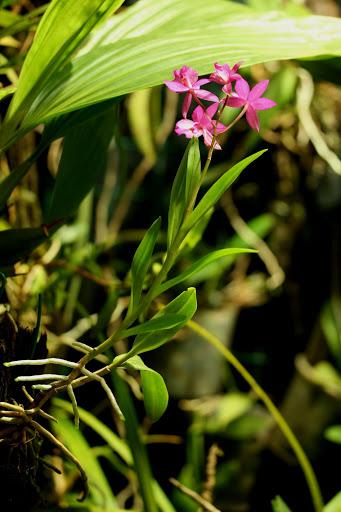 Bardendrum Nanboh Pixy 'Cherry Moon' (Barkeria × Epidendrum) IMG_4700