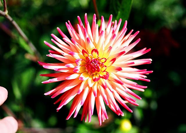 Spider Dahlia in Bloom / Credit: Bonnie Gardener