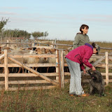 Gos d`Atura Catalan, Bennirudel bei den Schafen, Oktober 2012