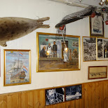 an entire seal nailed on the wall at the Seabaron in Reykjavik, Hofuoborgarsvaeoi, Iceland