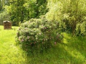 Róża pomarszczona krzew Rosa rugosa shrub