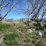 Walking up through the dead snow gums (263474)