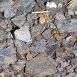 Polyommatus bellargus (ROTTEMBURG, 1775), mâle. Tras le Mont, 820 m, Cocurès (Lozère), 10 août 2013. Photo : J.-M. Gayman