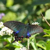 Papilio (Achillides) bianor gladiator FRUHSTORFER, 1902, femelle. Cang Shan (2400 m) au-dessus de Xizhou (Yunnan), 6 août 2010. Photo : J.-M. Gayman