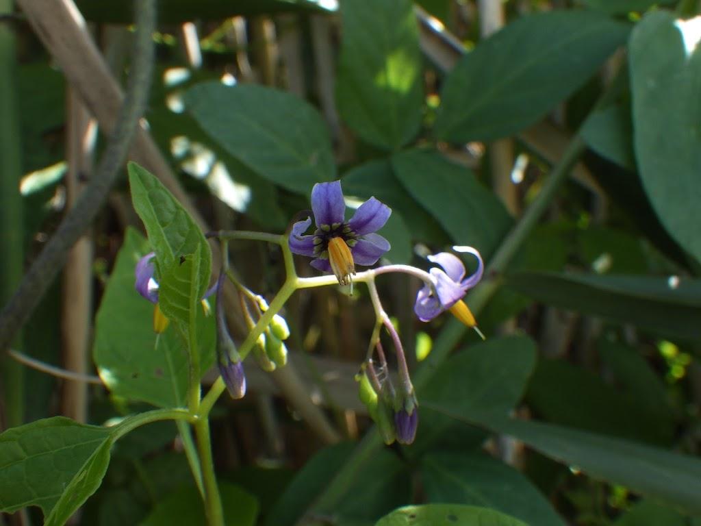 オオマルバノホロシ Solanum meg...