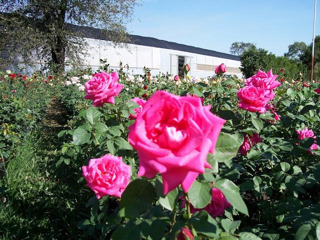 cultivo de plantas florales perennes - 100_0888.JPG