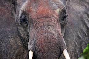 Female Elephant, Botswana