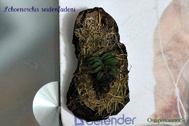 Schoenorchis (шенорхис) IMG_2572