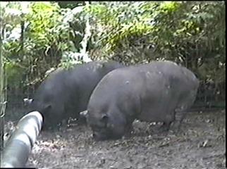 1998.09.09-011 cochons du Vietnam