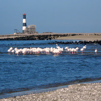 Flamingos on Pelican Point