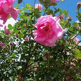Gardening 2013 - 115_5690.JPG