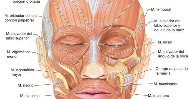 Dr.SoTello: Músculos periorificiales de la boca