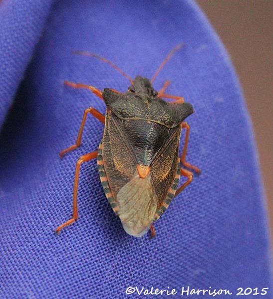 red-legged-shieldbug