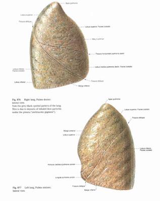 Anatomi Paru (Pulmonal) Pada Tubuh Manusia
