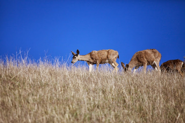 monte bello deer