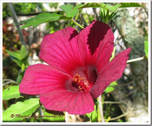 12-01-ruby-hibiscus