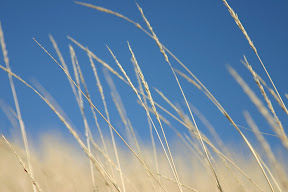 Grass blowing in the wind