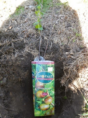 Planting a Gooseberry