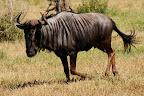 """En gnu (også kaldet """"blue wildebeest"""")."""