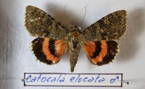 CATACOLA ELOCATA.JPG