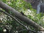 Tioman - malayisches Eichhörnchen