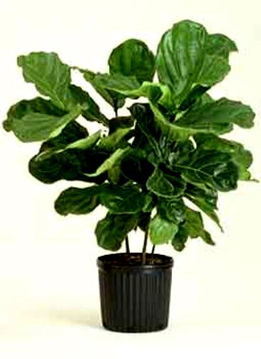 Kambarinis augalas