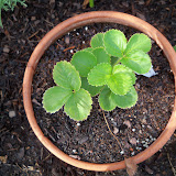 Gardening 2010, Part Two - 101_2260.JPG