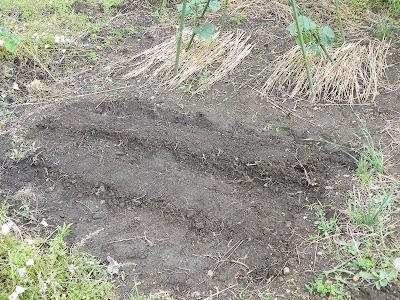 バジルと枝豆の直蒔き