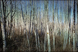 """""""Birch trees"""" by Suzanne Anaya - 1st Place B Special"""