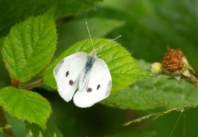 Pieris rapae L., 1758, femelle, génération estivale. Les Hautes-Lisières (Rouvres, 28), 20 juin 2011. Photo : J.-M. Gayman