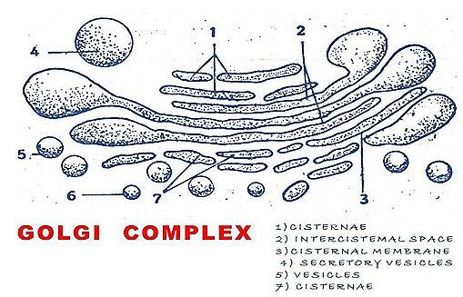 golgi apparatus  (1)