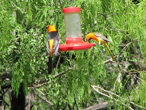 Photo: Altamira (left) is our largest Oriole.  Female Hooded Oriole on right.