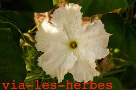 fleur de courge 2.jpg