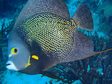 My friend, French Angel fish who came really close to me!