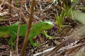 Green iguana hiding in the shrubs