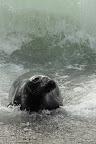 UN PEU VAGUE A marée basse, les phoques gris se rassemblent sur les plages ou les îlots rocheux
