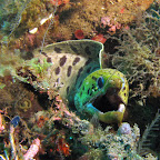 Moray eel (Dauin, Negros)