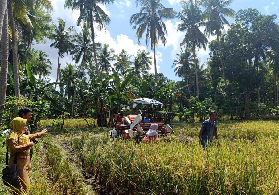 Panen Ditengah Pandemi, Petani di Desa Mare-Mare Pertahankan Kualitas dan Kuantitas Padinya