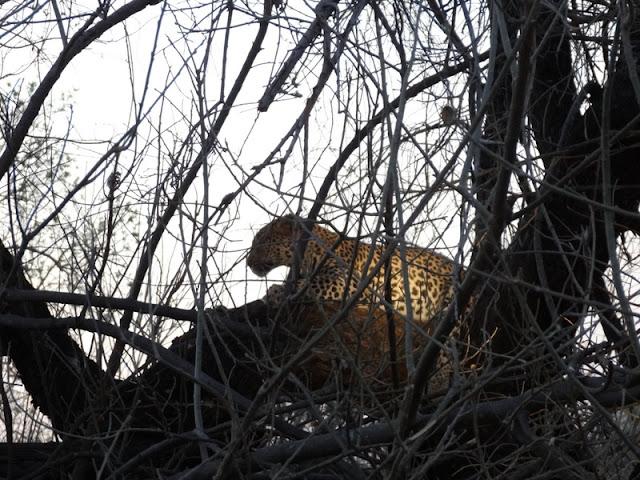 Leopard seen at Savuti