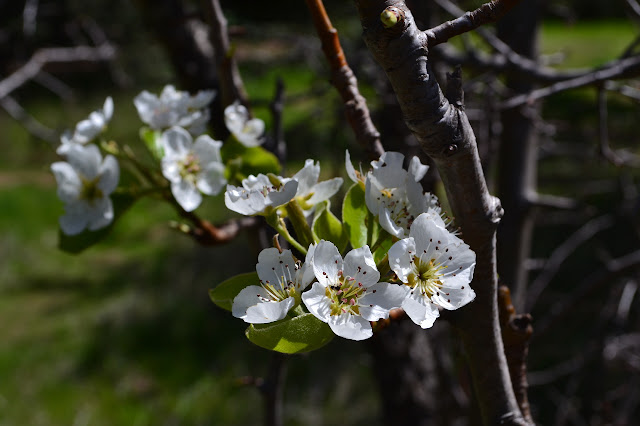 apple (or pear) trees flowering at Forbush Flat