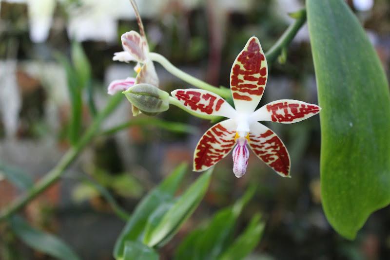 Phalaenopsis sumatrana IMG_1886
