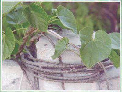 Gulancha Tinospora - Medicinal Plants.healing