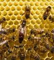 sáp mật ong