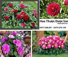 Hướng dẫn chăm sóc hoa Thược dược